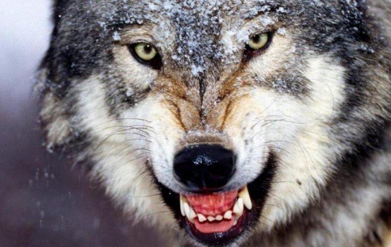 Фотография волка