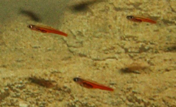 Paedocypris progenetica – одна из самых маленьких рыб в мире
