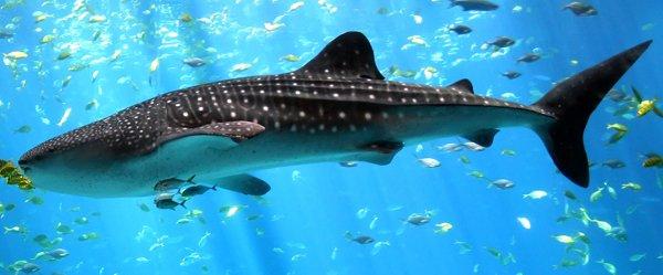 Китовая акула – самая большая в мире рыба