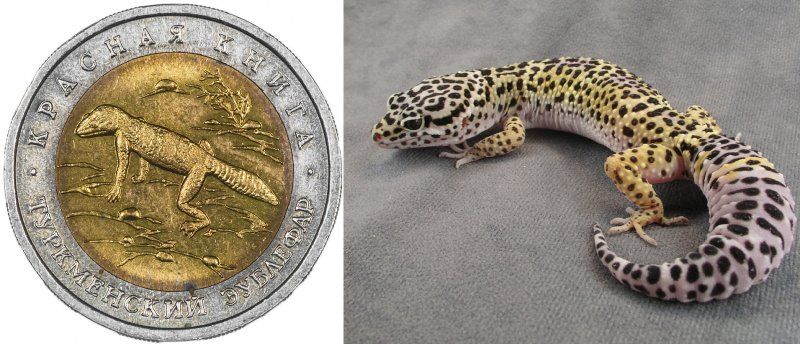 Реверс монеты «Туркменский эублефар» 1993 г. / Туркменский эублефар