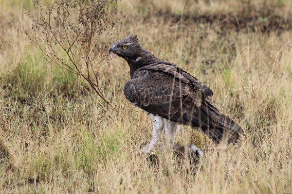 Чтобы в живую увидеть Боевого орла вам придется отправиться в Африку!
