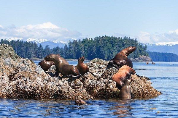 Тюлени на Аляске. Фото Рея Балсона