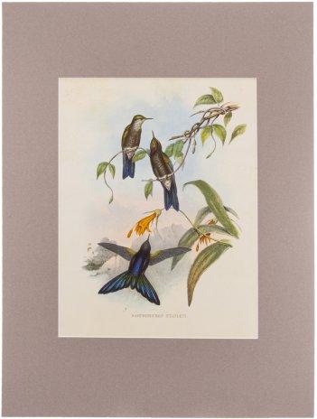 """купить """"Ramphomicron Stanleyi"""" (автор Джон Гульд), бумага, печать, паспарту, Франция, 1960 гг."""