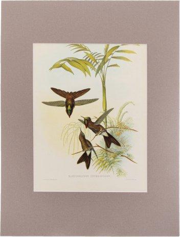 """купить """"Ramphomicron Heteropogon"""" (автор Джон Гульд), бумага, печать, паспарту, Франция, 1960 гг."""