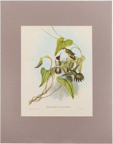 """купить """"Selasphorus Platycerus"""" (автор Джон Гульд), бумага, печать, паспарту, Франция, 1960 гг."""