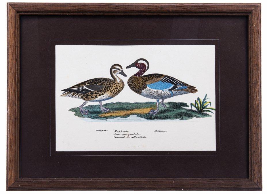 """купить Цветная гравюра с изображением самца и самки птиц """"Чирок-трескунок (Anas querquedula)"""" в рамке, бумага, печать, дерево, стекло, Германия, 1854 г."""